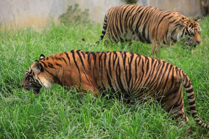 Population of Sumatran tigers reaches 400