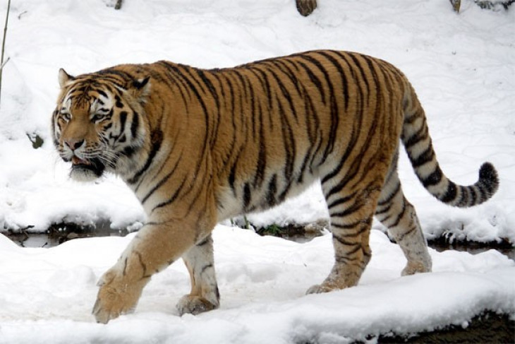 EARTH WIRE -- Wild Siberian tiger spotted in NE China forest