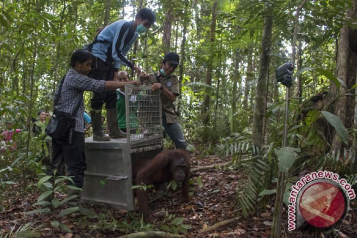 Pelepasliaran Orangutan di TNBBBR