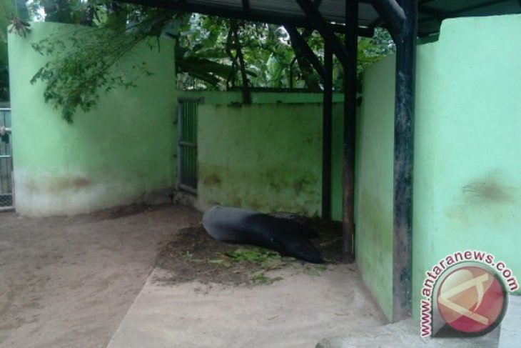 Dua induk Tapir di Taman Rimba Jambi melahirkan