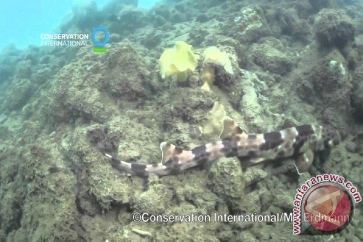 Joint research uncovers walking shark species in Raja Ampat, Halmahera
