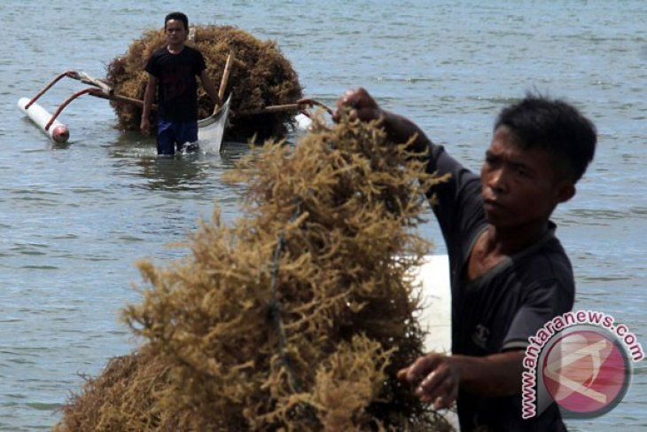 EARTH WIRE -- Sea weed potential source of energy: IPB professor