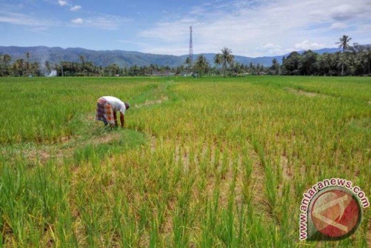 Puluhan Hektar Lahan Sawah Terancam Gagal Panen