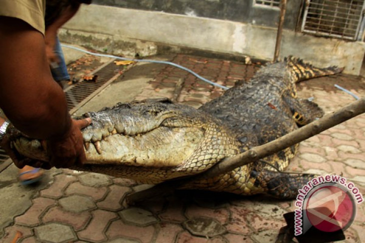 Two villagers survive crocodile attack in Riau