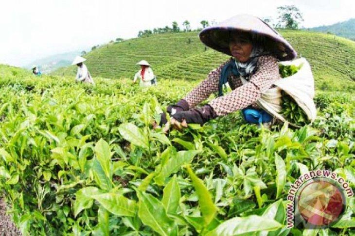 Kemendag harapkan adanya peningkatan ekspor teh