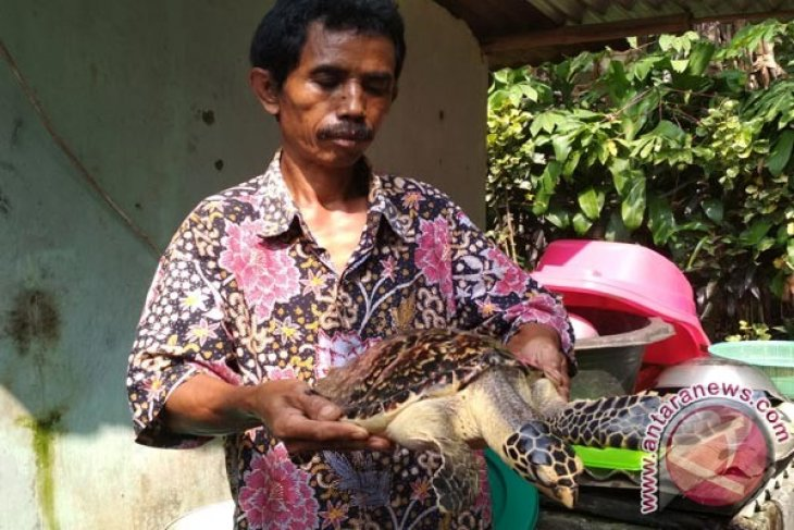 Relawan PPSC Sukabumi Sita Penyu Dari Warga