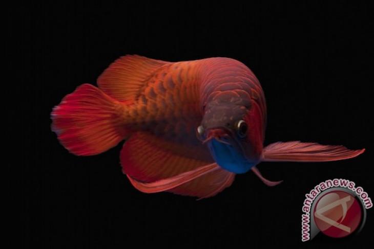 Ikan Arwana Kapuas Hulu terjual  Rp875 juta di China