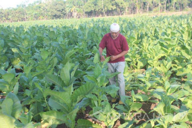 Petani Tembakau di Probolinggo Kesulitan Air