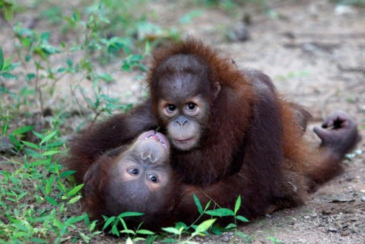 Deforestation threatens orangutan population