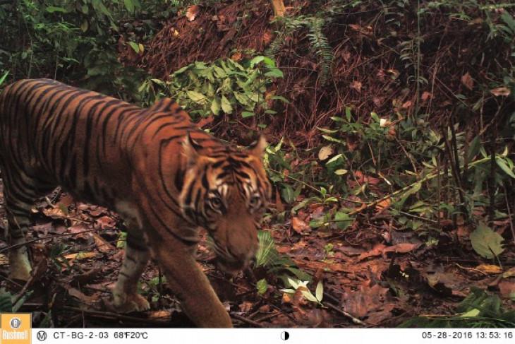 China lifting tiger bone ban feared to affect Sumatran tigers