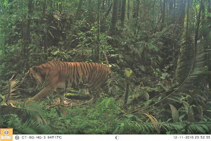 "Sumatran tiger ""Bonita"" returns to forest"