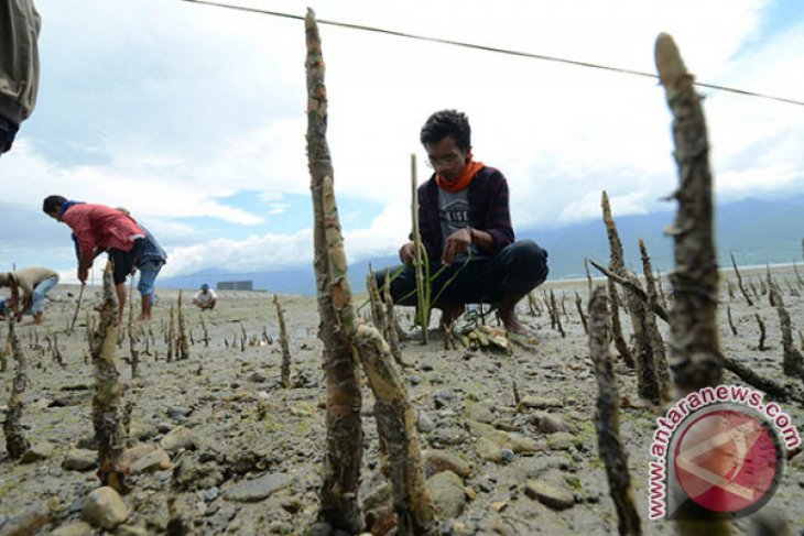 Pasca-tsunami, 1.000 bibit mangrove ditanam di Teluk Palu