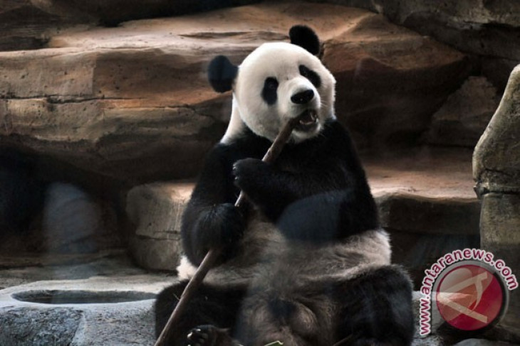 Two pandas quarantined in Safari Park