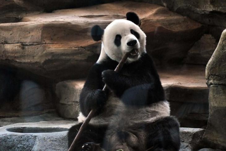 Two giant pandas eat 30 kilograms of bamboos per day