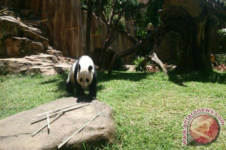 Keberadaan panda raksasa TSI makin diminati pengunjung (Video)