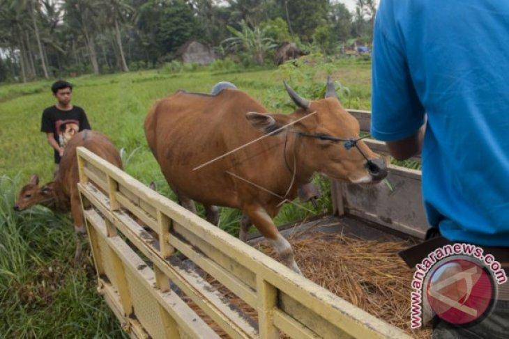 Pemkab Klungkung Tampung 157 Ternak Pengungsi