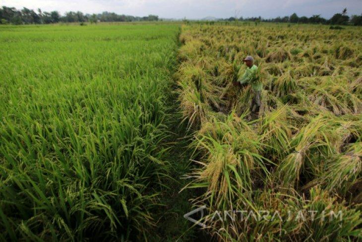 Ketersediaan benih padi di Banyuwangi capai 15.000 ton