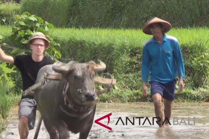 Bajak sawah jadi atraksi baru di Subak Jatiluwih-Tabanan (video)