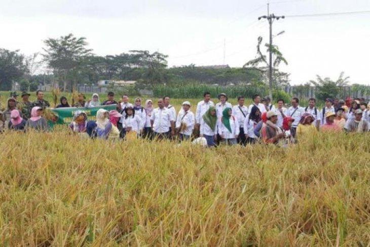Padi hibrida tingkatkan produktivitas beras