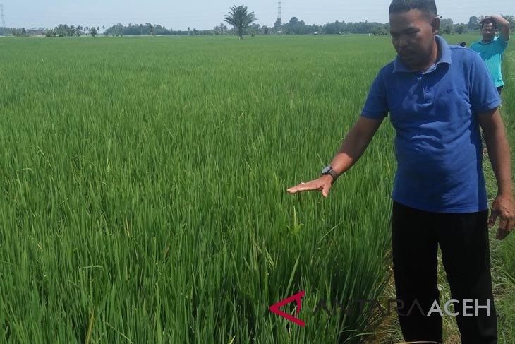 BI kembangkan padi pola