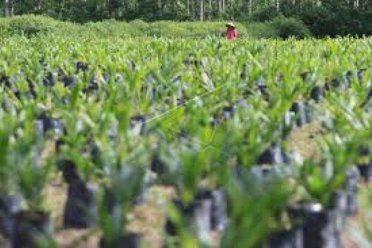 400 hektare hutan mangrove jadi sawit