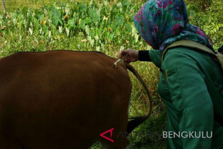 Sebanyak 50 sapi di Mukomuko mati akibat penyakit jembrana