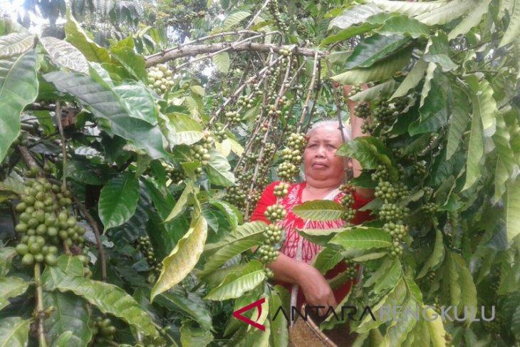 Produktivitas kopi robusta Bengkulu masih rendah