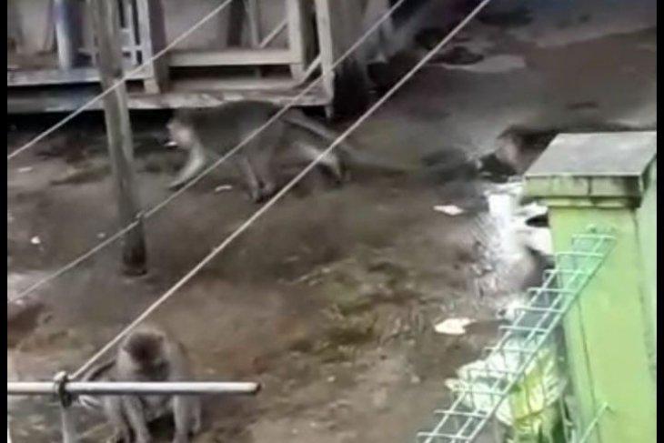 Bekasi kerahkan damkar tangkap monyet liar ganas
