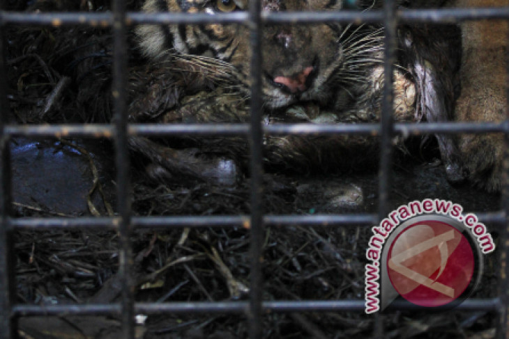 BKSDA cek kondisi harimau terperangkap di Semendo Muara Enim