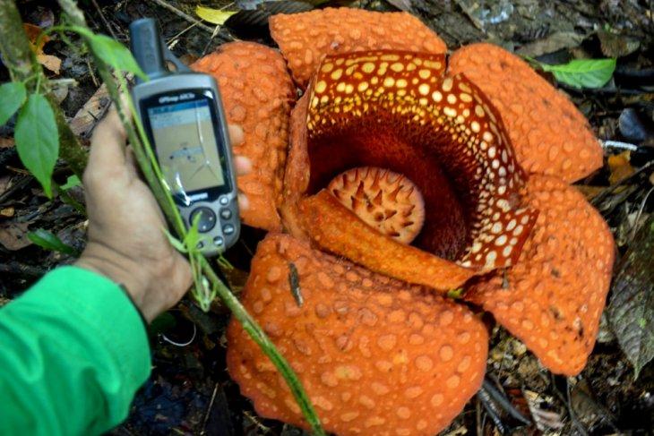 Rafflesia Kemumu blooms in North Bengkulu