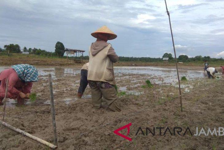 Batanghari targetkan 10.207 hektar luas tanam padi