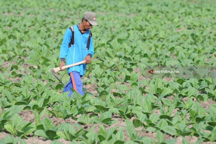 Produksi Tembakau Madura