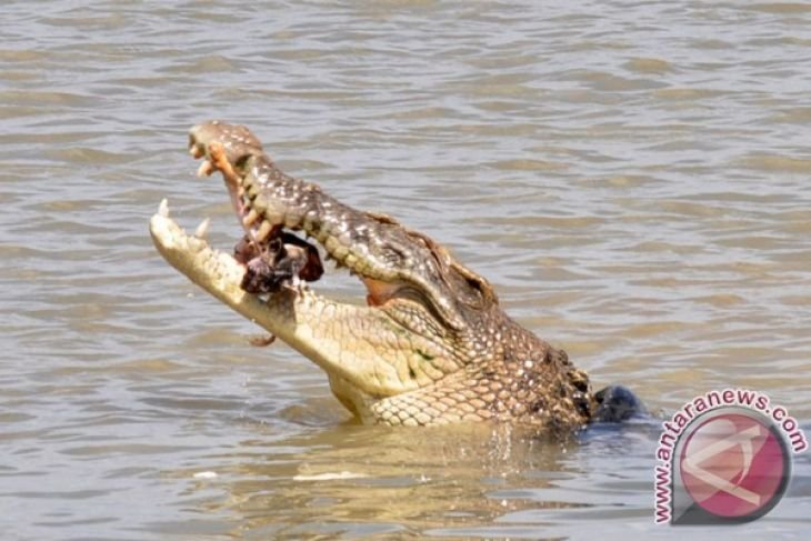 Conservation office calls for a halt to crocodile-catching contest