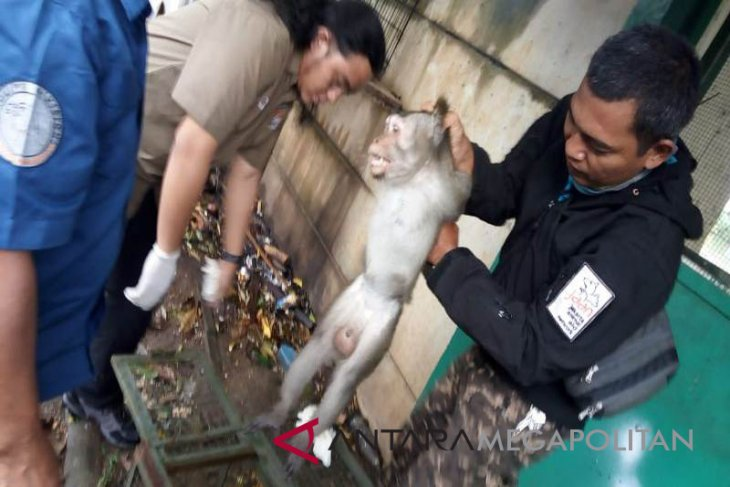 JAAN: Monyet ganas di Bekasi berjenis Alpha