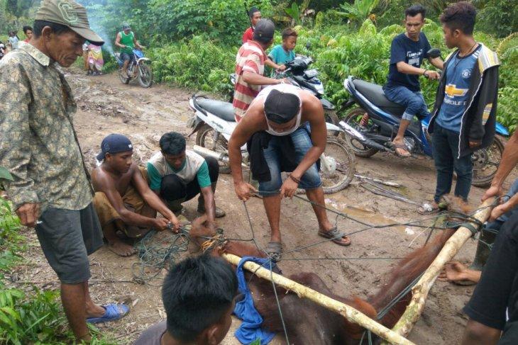 Tiga orangutan masuk kawasan pemukiman warga siantan
