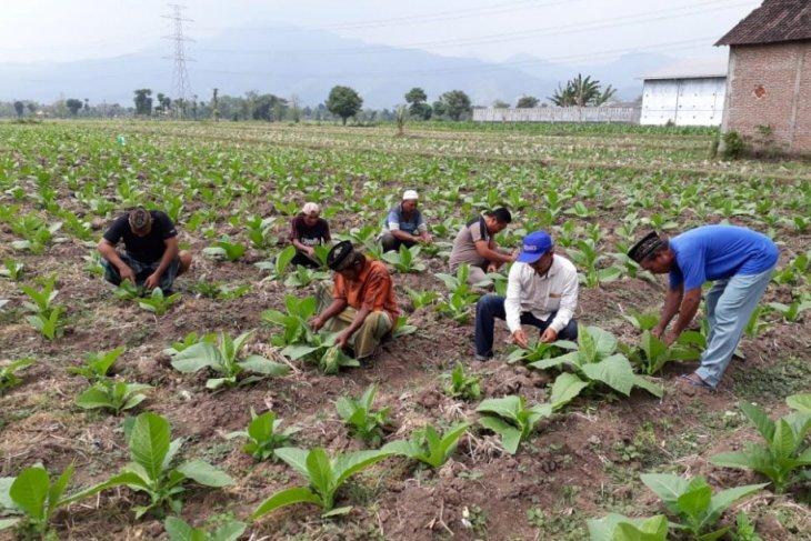 DKPP Probolinggo Sosialisasikan Pengendalian Hama Terpadu Tembakau