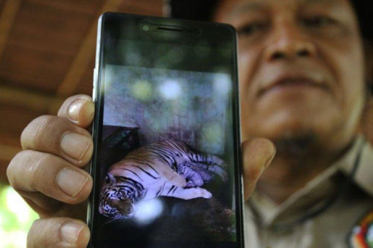 Kelahiran Anak Harimau Benggala