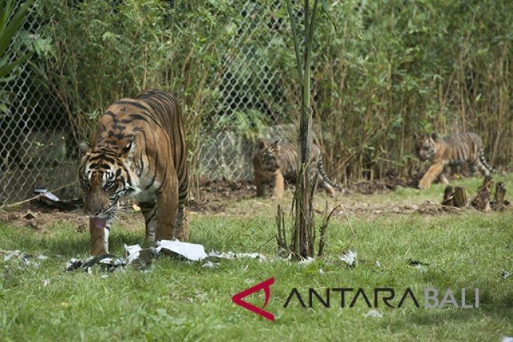 Harimau Sumatera berhasil dikembangbiakkan