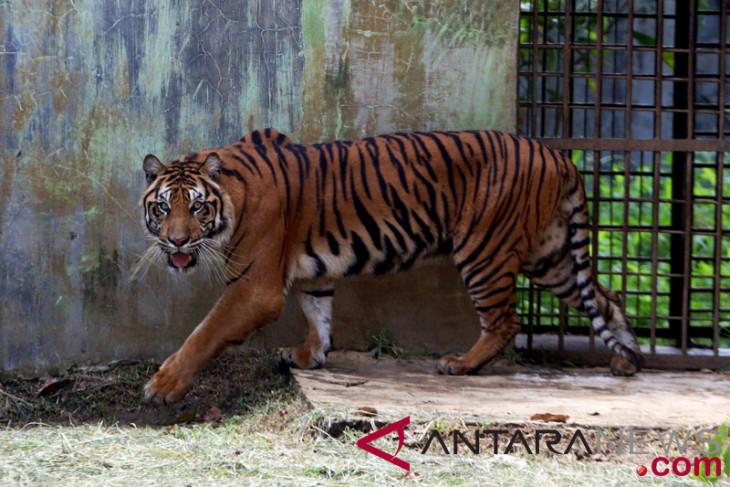 Trapped tiger evacuated to Dharmasraya rehabilitation center