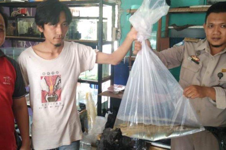 BKIPM serahkan ikan aligator ke kebun binatang