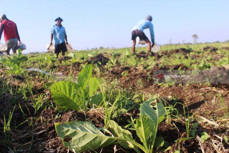 Lahan Tembakau di Probolinggo Mulai Diserang Hama Ulat