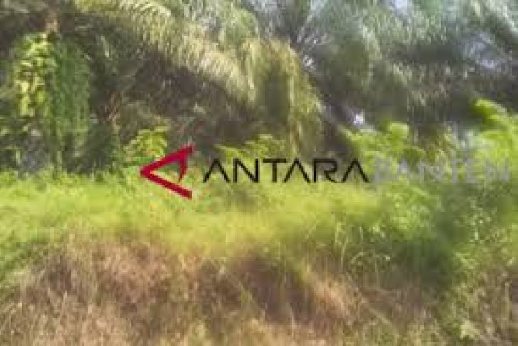 Distanbun Lebak Remajakan 730 Hektare Kelapa Sawit