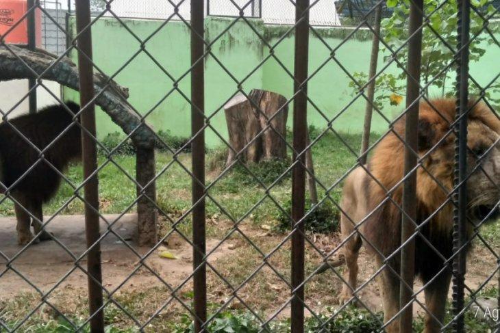 Taman satwa Jambi dan Siantar tukaran singa