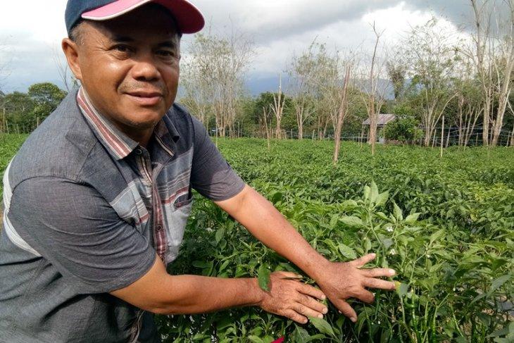 Lahan terbatas, Petani Sipirok alihkan tanaman kopi ke cabai