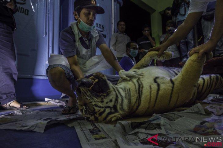 China`s decision could trigger Sumatran tiger poaching: Environmentalist