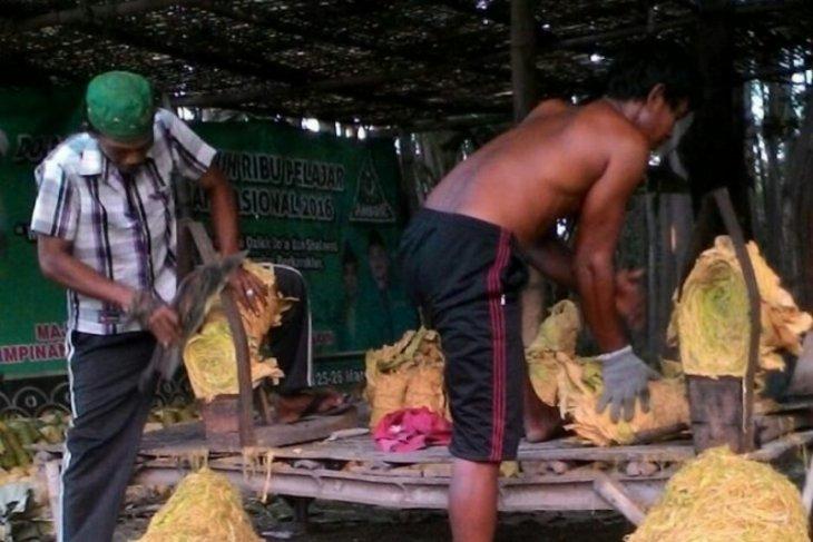 Harga Tembakau di Probolinggo Cukup Tinggi
