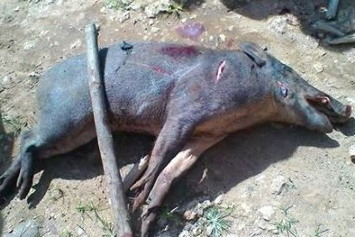 Warga Desa Sutera dihebohkan babi hutan masuk rumah