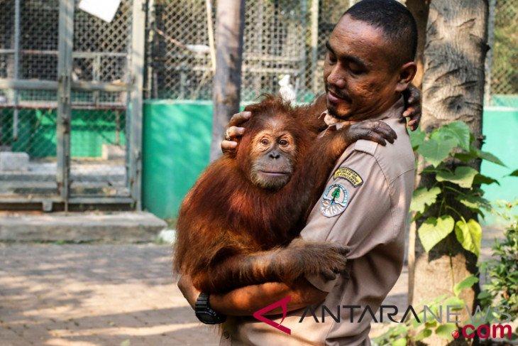 Jangan dikorbankan orangutan untuk pembangunan
