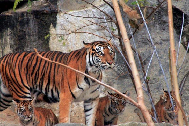 Walhi calls for protection of Sumatran tiger