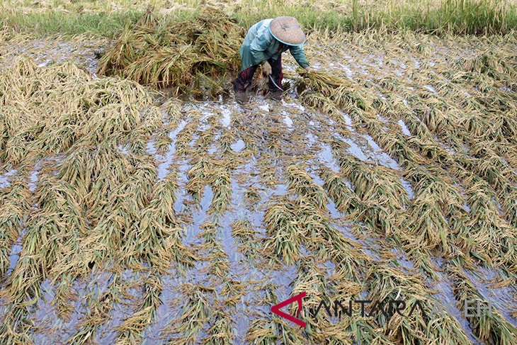 Panen padi rusak akibat terendam